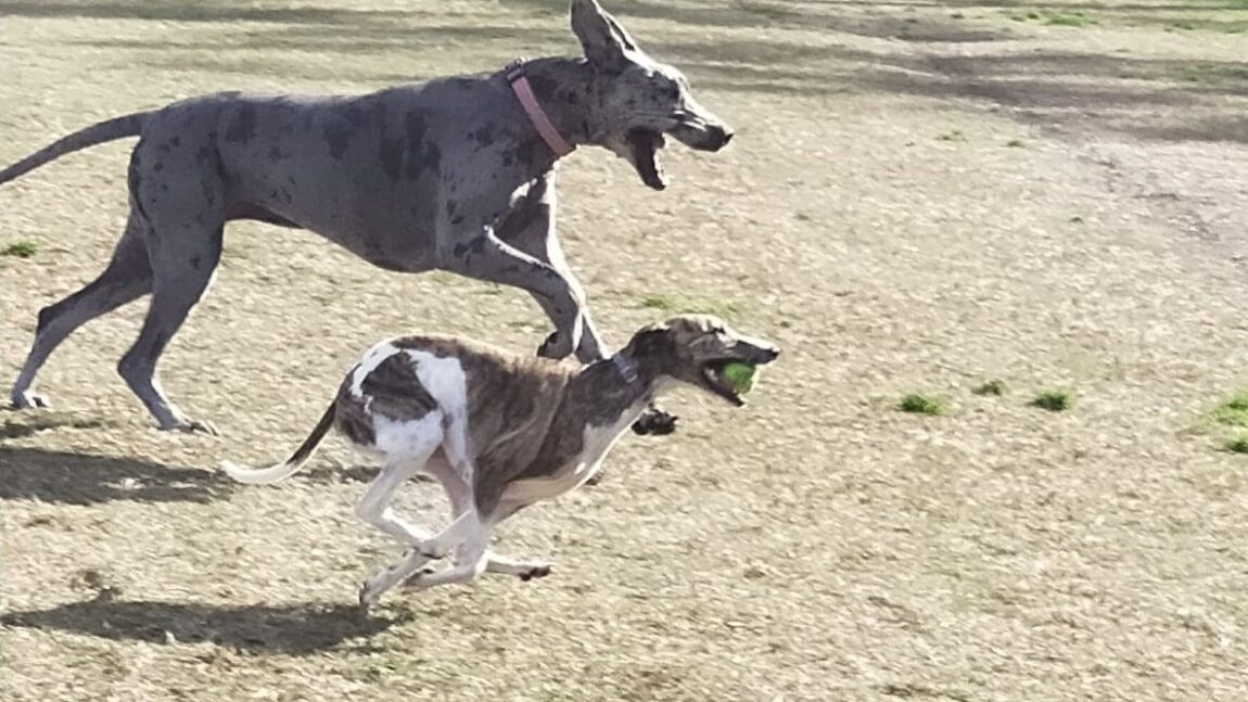 Loki and Luna running
