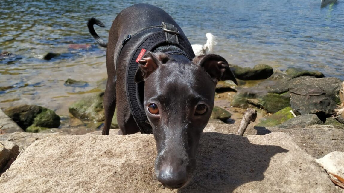 Greyhound at beach